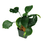 Decor_Plants_AnubiasBarteri