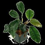 Decor_Plants_AnubiasBarteriCoffee