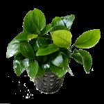 Decor_Plants_AnubiasBarteriNana