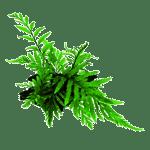 Decor_Plants_BolbitisHeudelotii