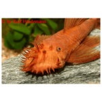 Fish_Algae_Ancistrus_Red