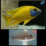 Fish_Malawi_Aulonocara_Baenshi