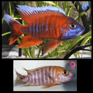 Fish_Malawi_Aulonocara_Jacobfreibergi_Eureka