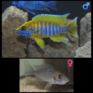 Fish_Malawi_Aulonocara_Jacobfreibergi_Mamelela