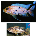 Fish_Malawi_Aulonocara_MarmeladeCat