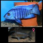Fish_Malawi_Aulonocara_Stuartgranti_Chilumba