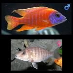 Fish_Malawi_Aulonocara_Stuartgranti_GermanRed