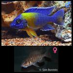 Fish_Malawi_Aulonocara_Stuartgranti_Maulana