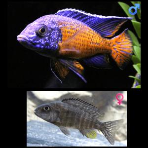 Fish_Malawi_Aulonocara_Stuartgranti_NgaraRed