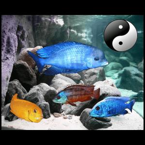 Fish_Malawi_Comb_Dolphin