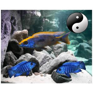 Fish_Malawi_Comb_EasyOto