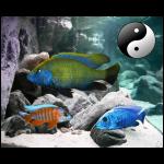Fish_Malawi_Comb_Nimbo