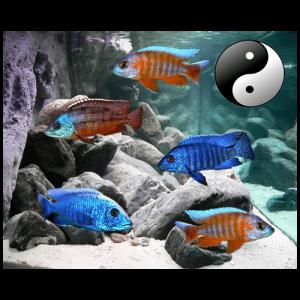 Fish_Malawi_Comb_RedBlue