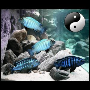 Fish_Malawi_Comb_WhiteBlue