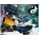 Fish_Malawi_Comb_YellowBlue