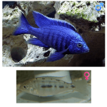 Fish_Malawi_Copadichromis_Azureus