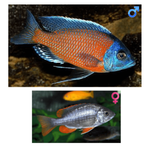 Fish_Malawi_Copadichromis_Borleyi