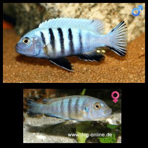 Fish_Malawi_Cynotilapia_Pulpican