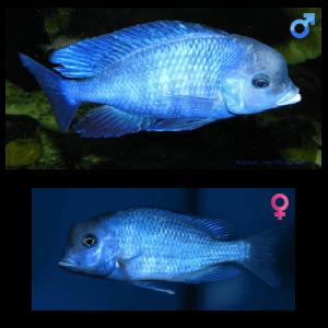 Fish_Malawi_Cyrtocara_Moorii