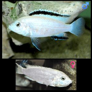 Fish_Malawi_Labidochromis_Caeruleus_Nkhomo