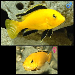 Fish_Malawi_Labidochromis_Caeruleus_Yellow