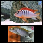 Fish_Malawi_Labidochromis_Hongi_Sweden