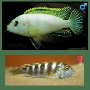 Fish_Malawi_Labidochromis_Perlmut