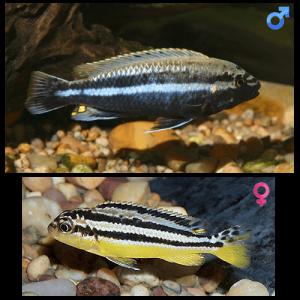 Fish_Malawi_Melanochromis_Auratus