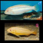 Fish_Malawi_Melanochromis_Auratus_Albino