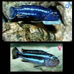 Fish_Malawi_Melanochromis_Cyaneorhabdos