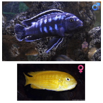 Fish_Malawi_Melanochromis_Interruptus