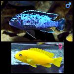 Fish_Malawi_Metriaclima_Msobo