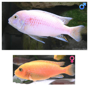 Fish_Malawi_Metrieclima_Estherae_RedRed