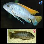 Fish_Malawi_Metrieclima_Grashekai