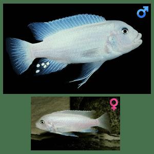 Fish_Malawi_Metrtiaclima_Callainos_WhitePearl