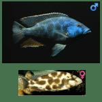 Fish_Malawi_Nimbochromis_Livingstoni