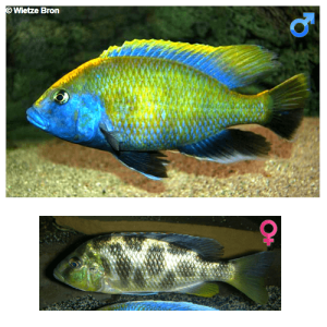 Fish_Malawi_Nimbochromis_Venustus