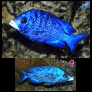 Fish_Malawi_Placidochromis_Phenochilus_Mdoka