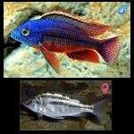 Fish_Malawi_Protomelas_Teaniolatus
