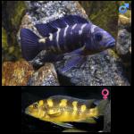 Fish_Malawi_Pseudotropheus_Crabro