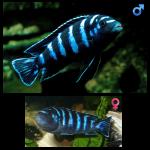 Fish_Malawi_Pseudotropheus_Demasoni