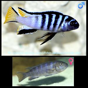 Fish_Malawi_Pseudotropheus_Elongatus_Mpanga