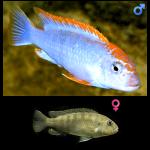 Fish_Malawi_Pseudotropheus_Perspicax