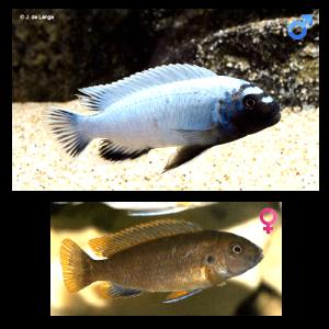 Fish_Malawi_Pseudotropheus_Polit