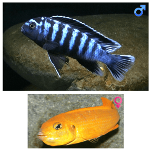 Fish_Malawi_Pseudotropheus_Saulosi_CoralRed