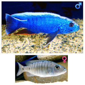 Fish_Malawi_Sciaenochromis_fryeri