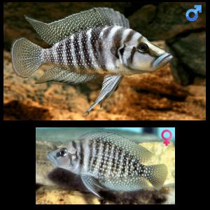 Fish_Tang_Altolamprologus_Calvus_White