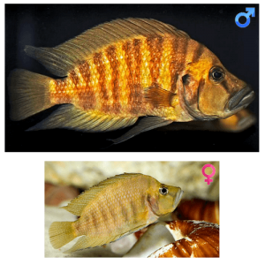 Fish_Tang_Altolamprologus_Compressiceps_Gold