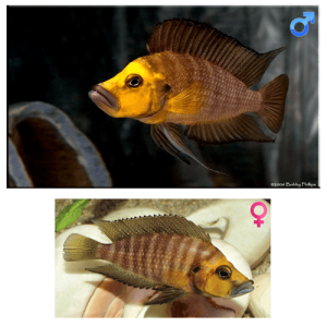 Fish_Tang_Altolamprologus_Compressiceps_Goldhead