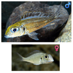 Fish_Tang_Callochromis_Macrops_NdoleRed